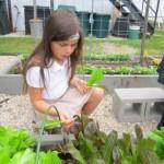 picking lettuce 007